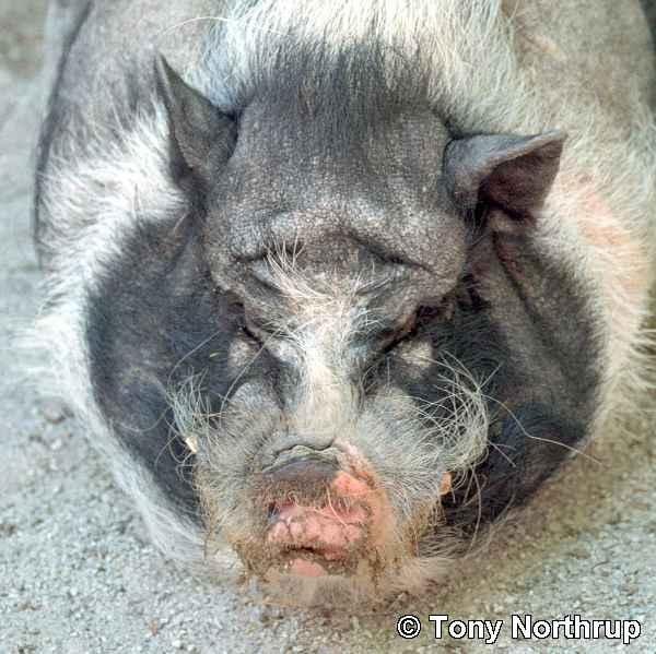 https://hellinthehallway.net/wp-content/uploads/2013/08/ugly-animals-pigs-1581719-o.jpg